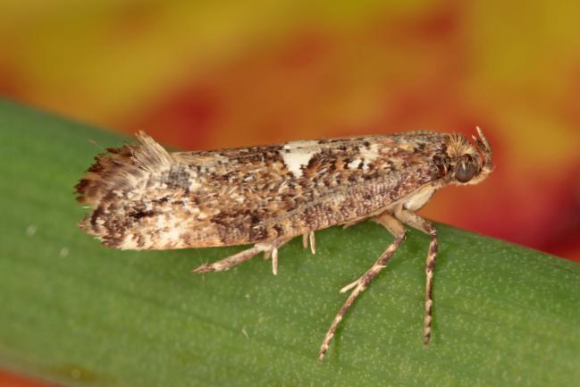 Acrolepiopsis assectella ou teigne du poireau