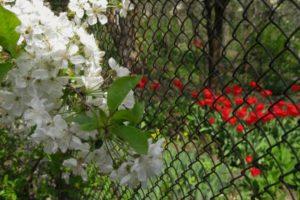 Arbres et arbustes pour cacher un grillage