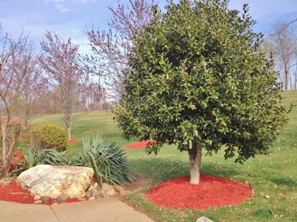 BRF rouge étalé au pied de l'arbre et au sol du jardin