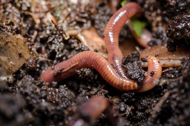 Bienfait des vers de terre sur le jardin