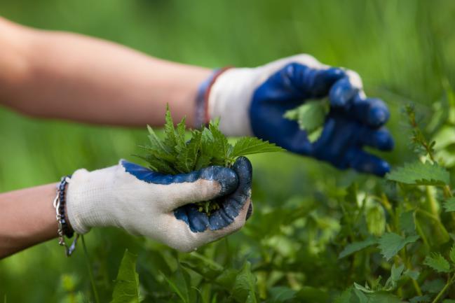 Cueillir des orties