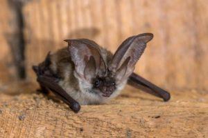 Chauve souris à longues oreilles Plecotus austriacus