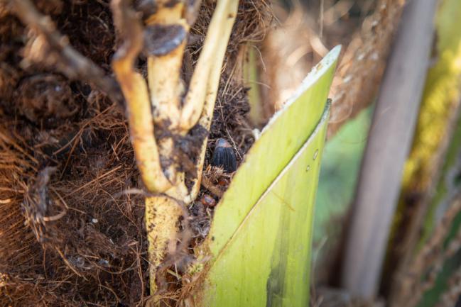 Cœur du palmier ravagé par la maladie