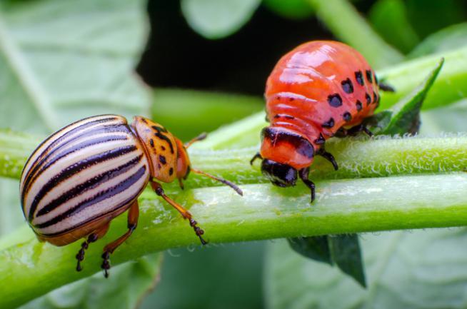 Doryphore et larve de doryphore