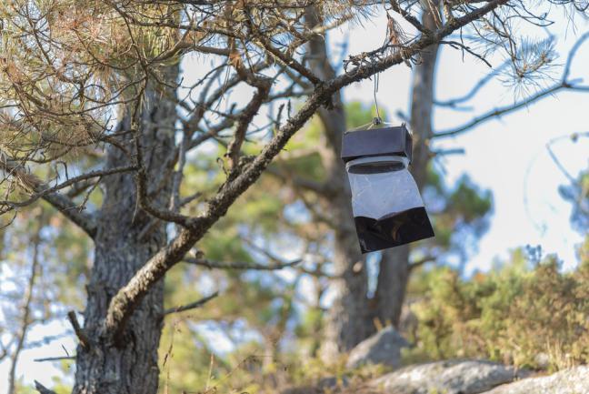 Eco-piège, piège à phéromone pin
