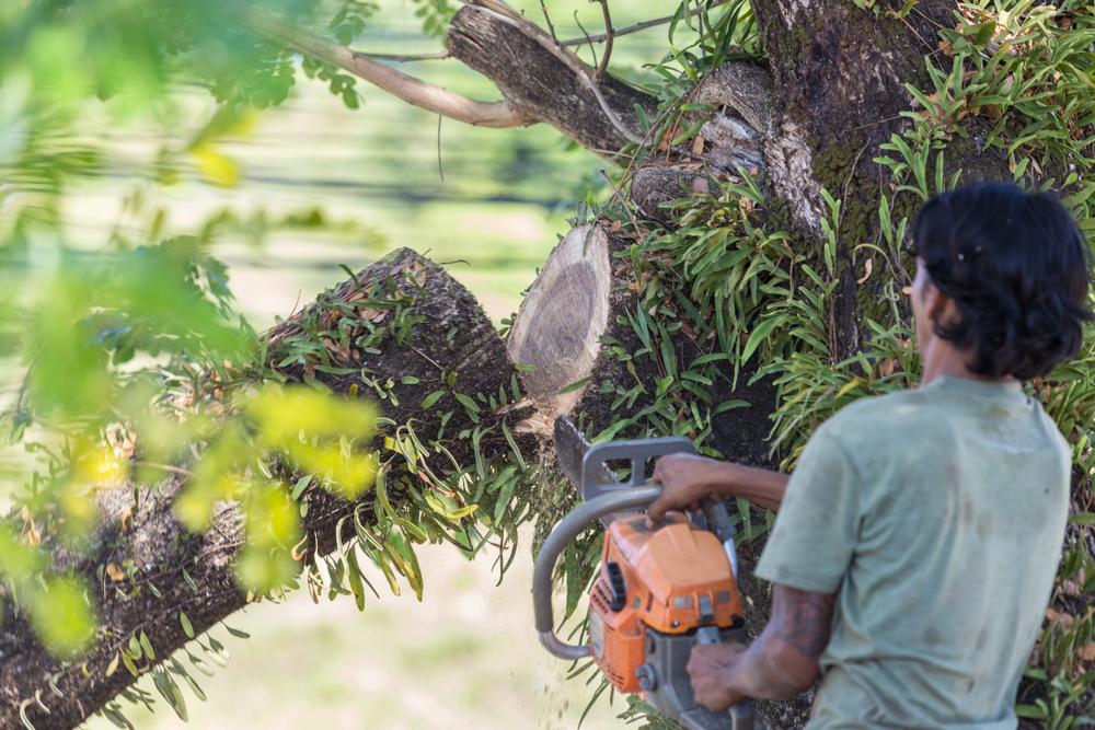 Elagage puis abattage d'arbre