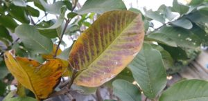 Feuillage de guava hautement deficient en phosphore