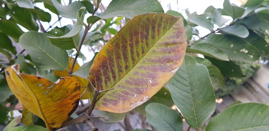 Feuillage de guava hautement déficient en phosphore