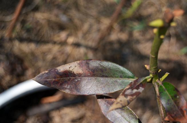 Feuille de rhododendron attaquée par le Fusarium oxysporum ou Phytophthora cinnamomi Rands
