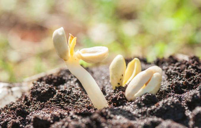 Germination de l'arachide dans un sol mélangé de marc de café frais