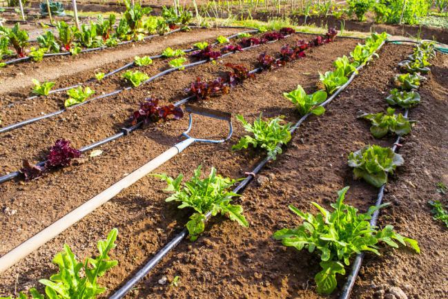 Irrigation goutte à goutte d'un potager