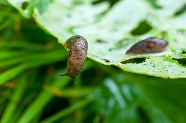 Limace ravageur de plante