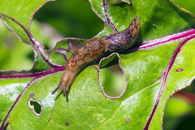 Lutter contre escargots et limaces