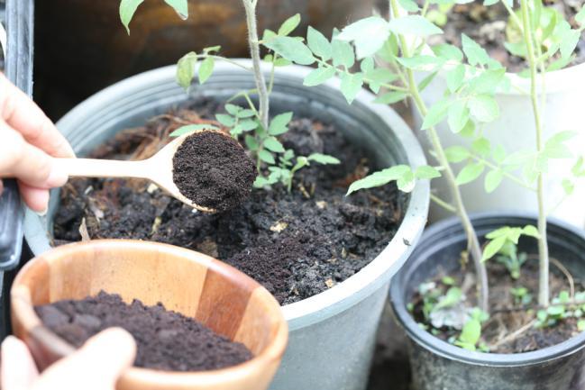 Marc de café utilisé pour amender un plant d'arbre