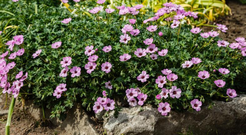 Massif rocailleux avec geranium vivace