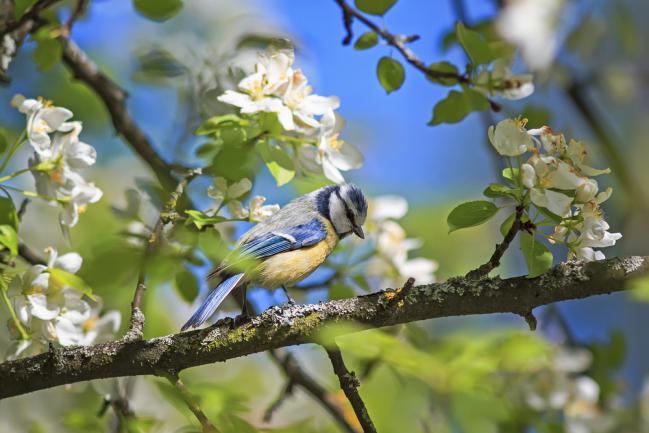 Mésange sur un pommier au printemps