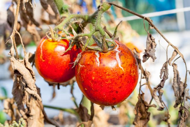 Mildiou tige et feuilles tomate