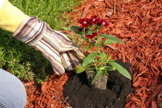 Pailler le sol à la plantation avec du brf