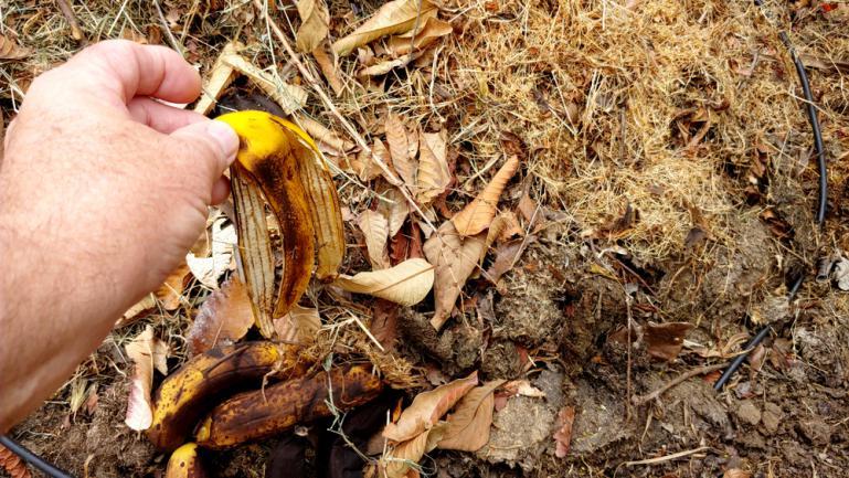 Peau de banane mélangée directement au sol pour le semis ou la décomposition en engrais