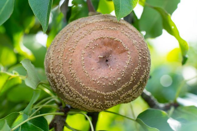 Poire infectée par une maladie fongique - Monilia fructigena