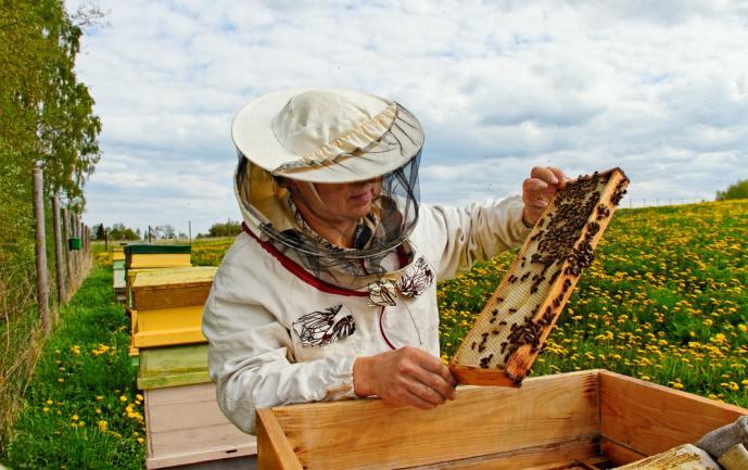 Récolte du miel dans le jardin