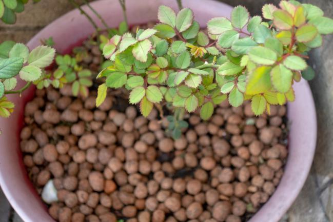 Traitement du chlorose du rosier à l'aide de fertilisant