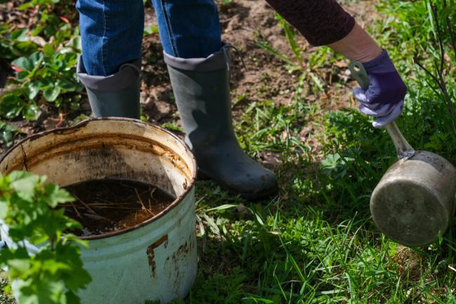 Utiliser le purin sur les arbustes du jardin