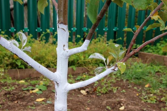 blanc arboricole - lait de chaux - prévention moniliose