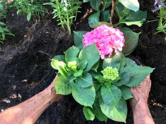 Cultiver hydrangea - hortensia
