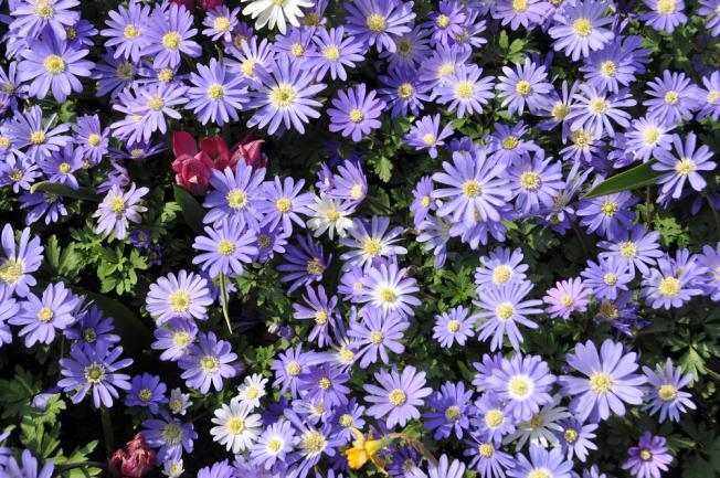 Fleurs d'aster