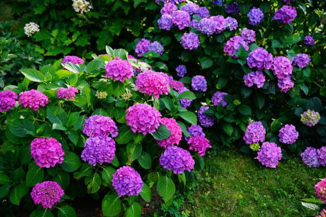 Massifs d'hortensia violet