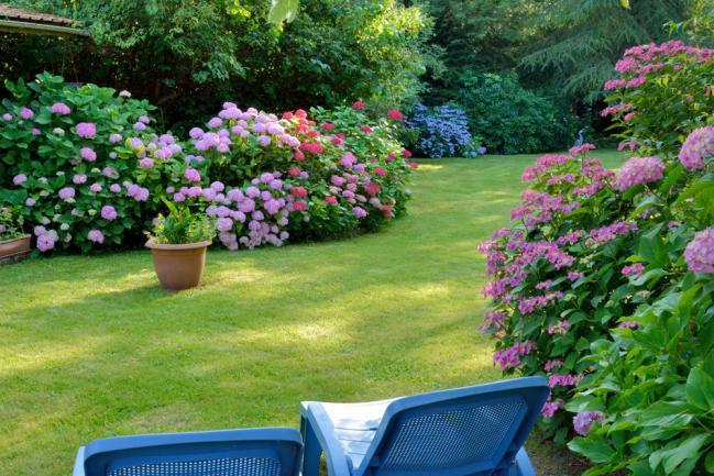 Massifs d'hortensia dans un jardin